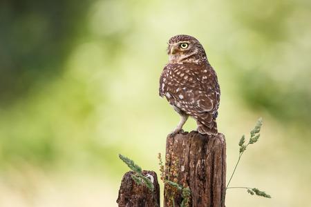 little owl on a fence
