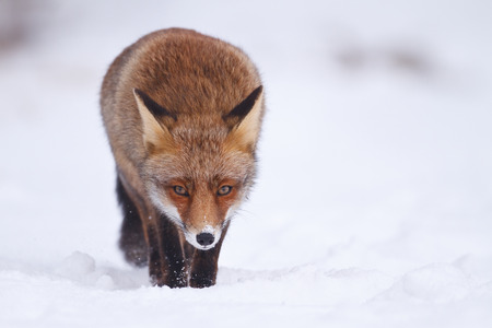 red animal: red fox in a winter setting Stock Photo