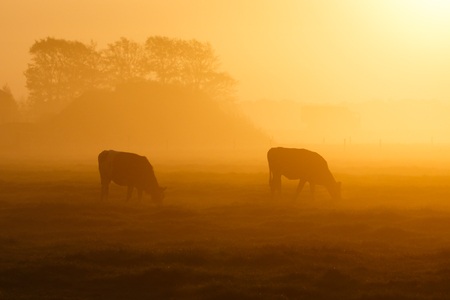 two cows on a foggy field