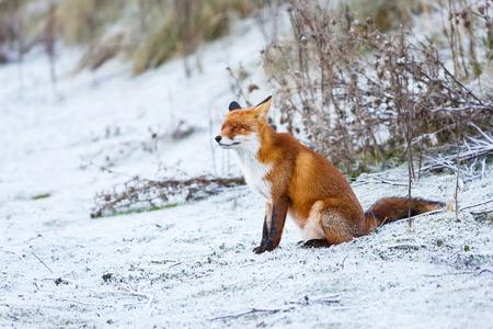 red fox in a winter setting Standard-Bild