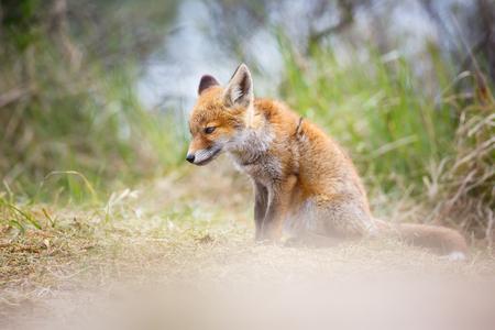 red fox cub Standard-Bild