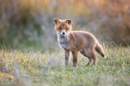red fox cub Editorial