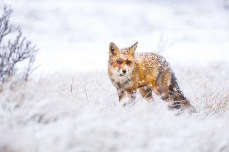 red fox in the snow Standard-Bild