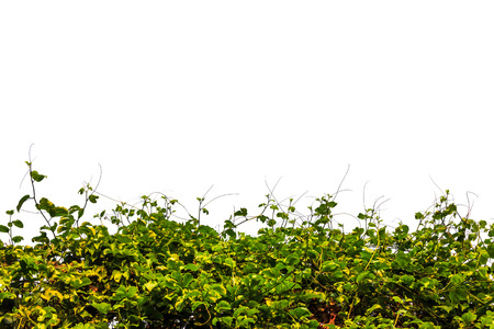 a hedge of tropical vegetation plants and white background photo