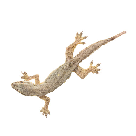 tokay gecko: small gecko on white background with clipping path