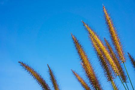 Pennisetum polystachyon Schult, soft flower with blue sky