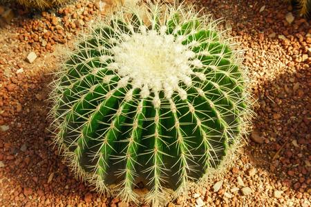 Cactus plant in greenhouse Stockfoto