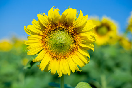 bright sunflower sunglasses Stok Fotoğraf