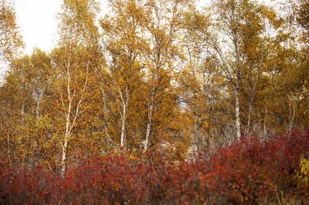 inner mongolia:  Inner Mongolia, Birch trees scenic Stock Photo