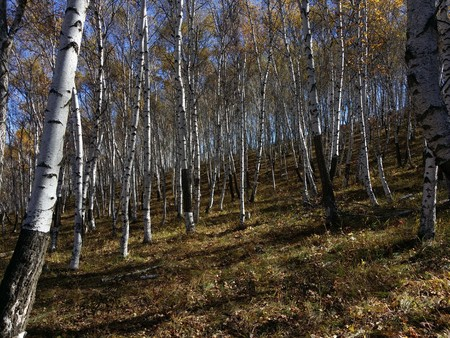 inner mongolia: Inner Mongolia Ulan butong birch forests