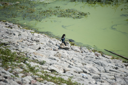 wetlands: Luxi wetlands of chaohu Lake blue-green algae