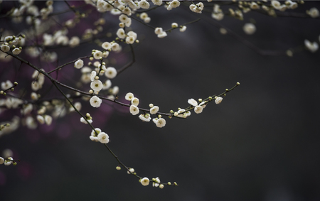 full      bloom: Hefei xiaoyaojin Park Plum Blossom in full bloom Stock Photo