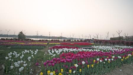 thirty: Hefei thirty post tulips in full bloom Stock Photo