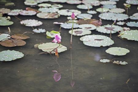 solstice: The summer solstice lotus