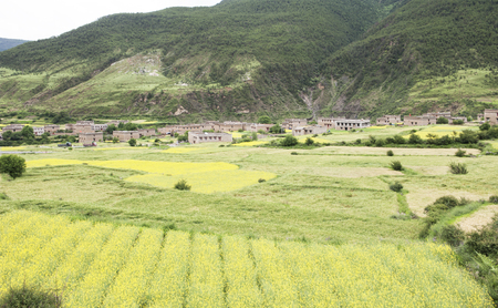sichuan: Ganzi, Sichuan: Daocheng canola flower scenery