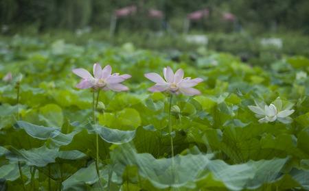 rhyme: Close up to lotus in a lotus pond