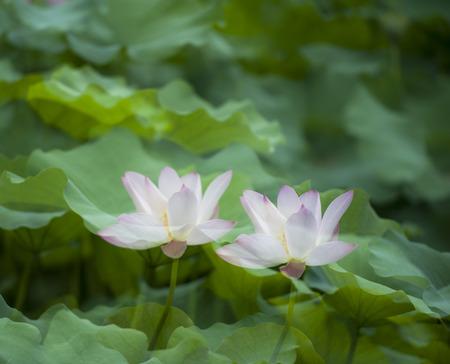 rhyme: Lotus in a lotus pond