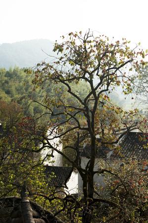persimmon tree: The Yixian County persimmon tree