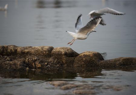 hebei: Hebei, Qinhuangdao: a flock of seagulls in the Beidaihe dove Nest Park Beach Dance