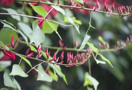 Close up to Erythrina speciosa Stock Photo