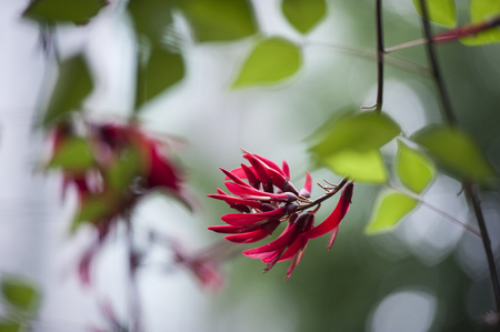 Erythrina speciosa