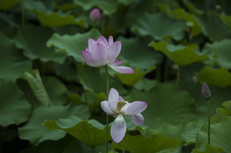 Early summer lotus