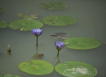 Water Lilies at Chishan Lake National Wetland Park in Lai'an county, Anhui.