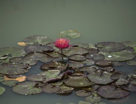 Water Lily at Chishan Lake National Wetland Park in Lai'an county, Anhui.