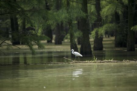 Egret in Chishan Lake National Wetland Park in Laian county, Anhui. 写真素材