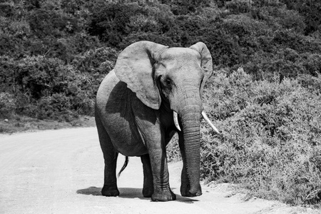 Elefant und Elefant. Kenia. Safari in Afrika. Afrikanischer Elefant. Tiere Afrikas. Reise nach Kenia. Elefantenfamilie. Standard-Bild