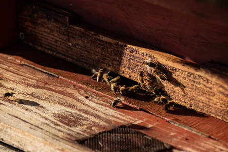 Close up of honey bees. Wooden beehive and bees.