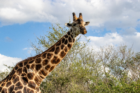 giraffe in National park Africa 版權商用圖片