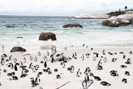African (jackass) penguin bolder beach Cape Town unspoiled nature parks and nature reserves of South Africa Stock Photo