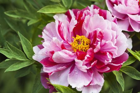 Peony.This is a flower pictures, pictures reflect the beauty of the peony flower scene.