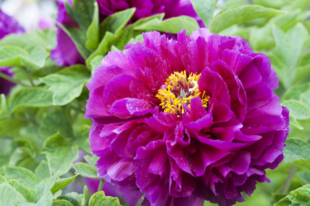 Blooming Purple Peony and the Golden Pistil