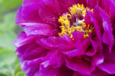 A Close Up of a Blooming Purple Peony and the Golden Pistil Stock Photo