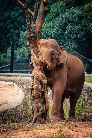 terrestrial mammal: Asian elephant