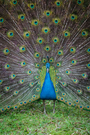phasianidae: Peacock
