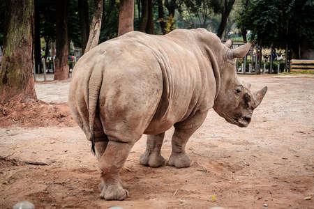 terrestrial mammal: White rhino Stock Photo