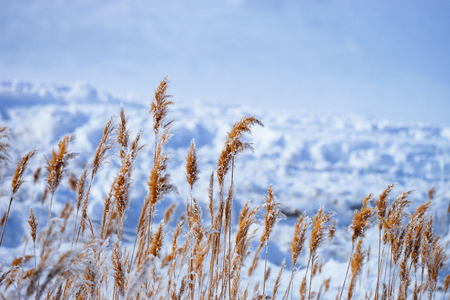 reed in snow Imagens