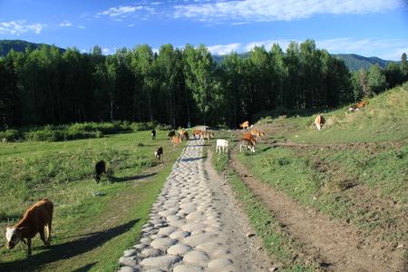 cow on grassland Imagens
