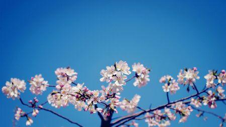 Cherry blossoms under blue sky 版權商用圖片