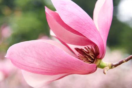 Magnolia photo