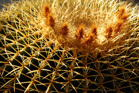 bleed: View of the side and circular top of a large, Golden Barrel Cactus, showing 3 inch long thorns and flowers.  Scientific name: echinocactus grusonii.