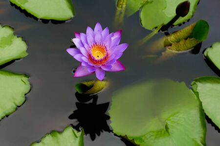 Delicate lotus flower in dark water surrounded by leaves.Top view close up. There is a place for inscription.
