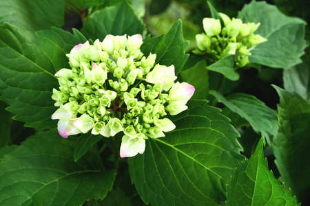 blooming hydrangea flower close-up on a background of green foliage. Side view. Postcard.