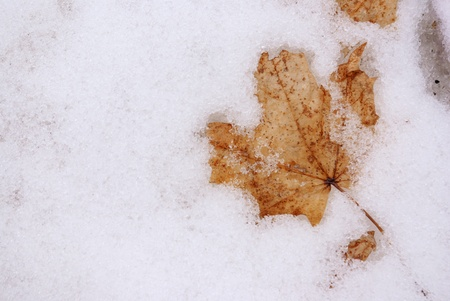 thawed: thawed maple leaf Stock Photo