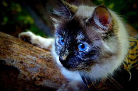 Ragdoll Cat, Named Powder Puff