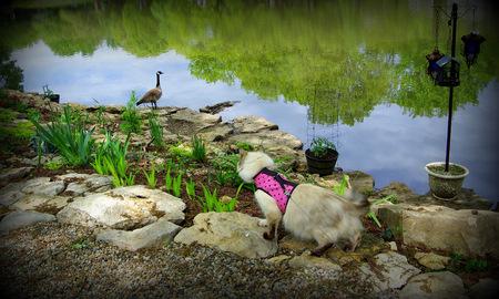 stalking: Powder Puff Stalking the Goose