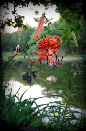 Tiger Lily at the Pond